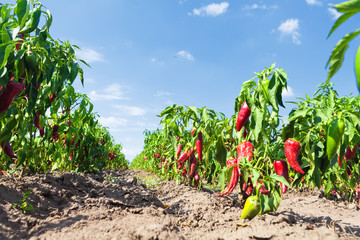 Highland field of red chili paprika, fresh on the green branches. Sunshine and clear blue sky. Organic vegetables