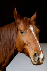 Head of saddle horse  in livestock at rural animal farm