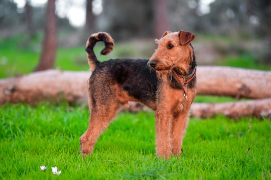 One-year-old Airedale Terrier trains in jumping over the fallen tree in the forest