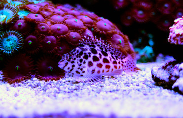 Pixy red spotted Hawkfish (Cirrhitichthys oxycephalus)