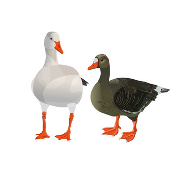 Grey and white geese