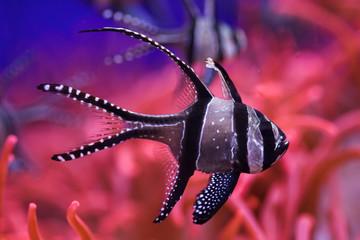 Banggai cardinalfish (Pterapogon kauderni).