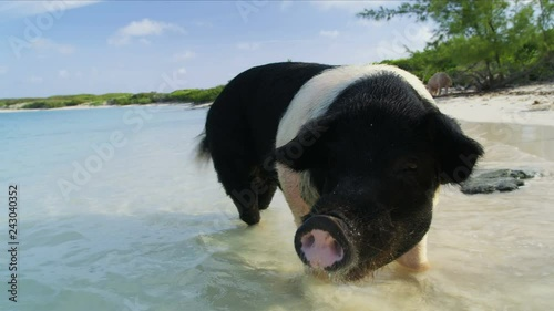 Paddling wild pig Big Major Cay Bahamas Caribbean
