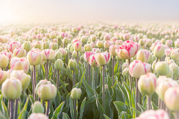close up of tulip field