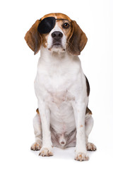Beagle dog as a pirate isolated on white background