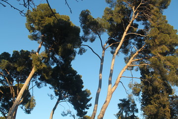 Trees with blue sky background. photo taken from below at sunset
