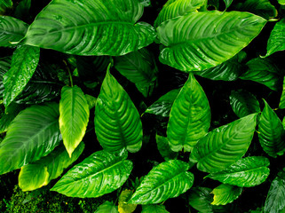 Freshness tropical leaves surface in dark tone as rife forest background