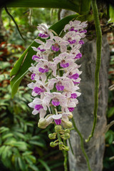Beautiful flowers named Rhynchostylis gigantea one of orchid in the park within Ratchaburi province...