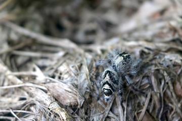 Hyllus diardi ,jumping spiders in the garden