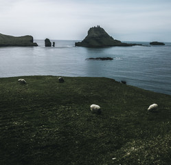sheep grazing on a green lawn with  the the blue sea in the back and a rocky rough island and abstract rough rock formations in the background on a moody day on the Faroe Islands