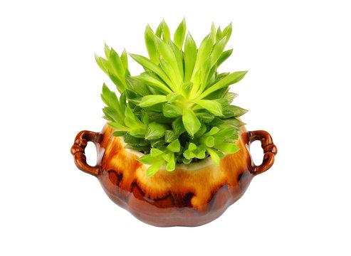 Succulent plant Haworthia cooperi