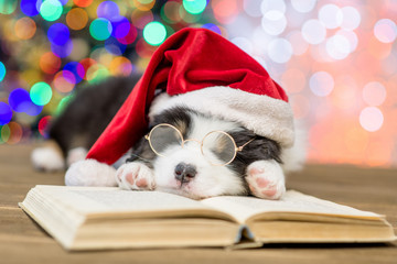 Australian shepherd puppy in red santa hat and eyeglasses sleeping on the book with Christmas tree on background