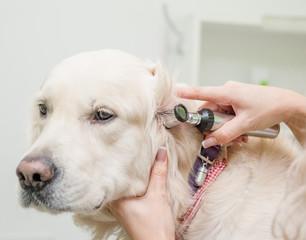 Close up vet examining dog with otoscope