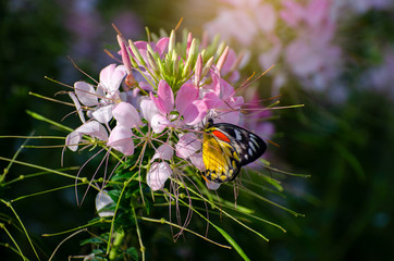 Fototapete - Butterfly on the cleome flower spinosa jacq Royal Park Ratchaphruek Chiang Mai Thailand