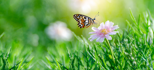 Fototapete - The yellow orange butterfly is on the white pink flowers in the green grass fields