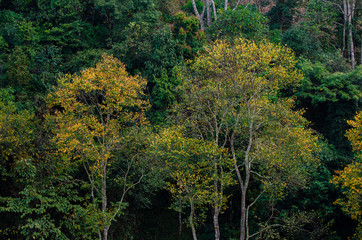 Fototapete - Yellow leaf tree green spring At Tea farm organic Tea farm 2000 Doi Ang Khang Chiang Mai Thailand