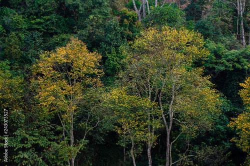Wall mural Yellow leaf tree green spring At Tea farm organic Tea farm 2000 Doi Ang Khang Chiang Mai Thailand
