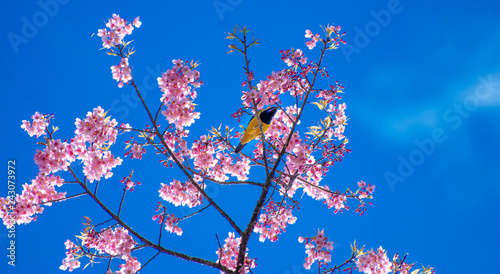 Wall mural Yellow bird blue background perched on the branches Sakura