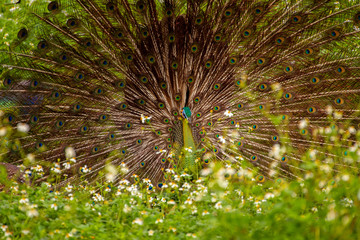 Indian Male Peacock