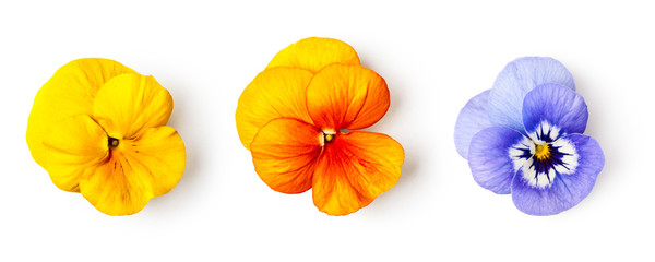 Spring pansy viola tricolor flowers set.