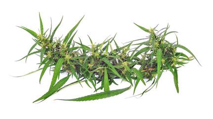 Marijuana on white background