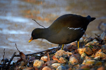 Common Moorhen or European Moorhen (Gallinula Chloropus) searching for food