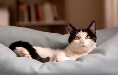 Pet animal; cute cat indoor. House cat.