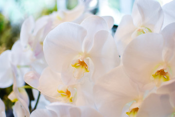 White beautiful orchid with yellow in bright sunny day in Japan