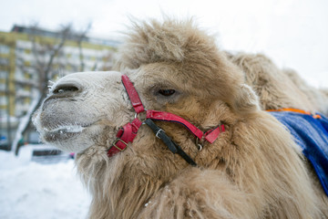 Portrait of a camel in the winter frost in the city