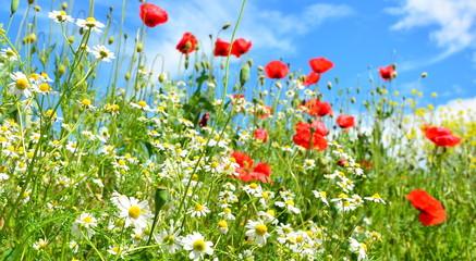 poppy field of red poppies