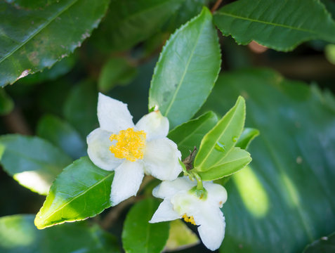 closeup of green branch of tea tree Camelia Camellia sinensis white and yellow flower blossom, selective focus, its leaves and leaf buds are used to make tea