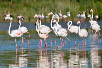 Group of flamingos (Phoenicopterus ruber) in water, in the Camargue is a natural region located south of Arles, France