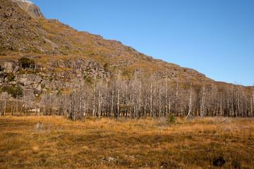 Birches in Glen Torridon in Highlands Scotland