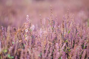 Taiwan arbutus purple fairy grass flower