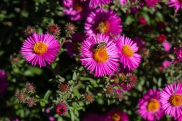 bee collecting pollen on purple chrysanthemum