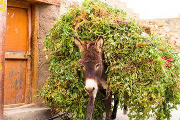 The donkey carrying green peas on himself.