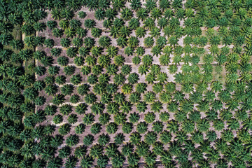 Aerial view palm oil plantation tree field
