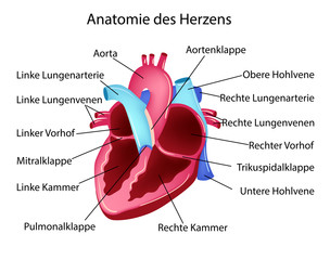 Vector illustration in german language with medical structure of heart