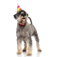 classy schnauzer wearing birthday hat looks up to side