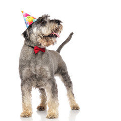 curious schnauzer with bowtie and birthday hat panting