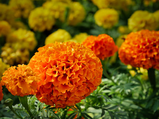 Close-up Orange Marigold Flowers in Yellow Flowers Field