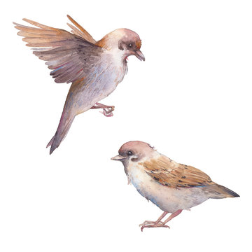 Watercolor sparrow birds. Hand painted spring bird set isolated on white background. Realistic illustration