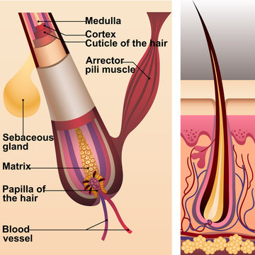 Structure of hair and follicle and sebaceous gland