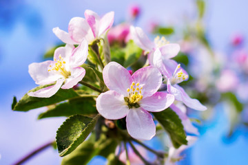 Apple blossom. Pink flowers on the branch of apple_