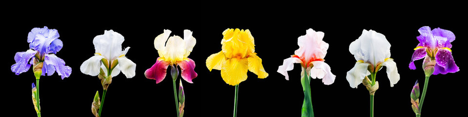 Photo sur Toile Iris A set of images of multicolored iris flowers on a black isolated background_