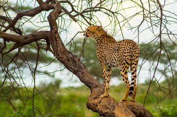 Cheetah perched on a dead tree in Samburu Park