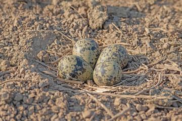 Fototapeta Kiebitz (Vanellus vanellus), Gelege aus 4 Eiern