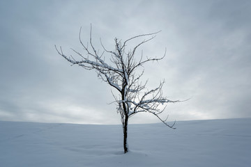 lonely tree on a snowy meadow