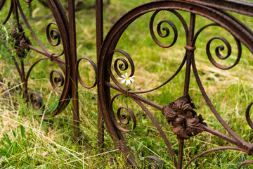isolated daisy at a rusted fence