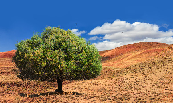 Lonely green argan tree in the middle of the desolating valley in Morocco. Beautiful Northern African Landscape . Fascinating view from the hill to the valley in Morocco